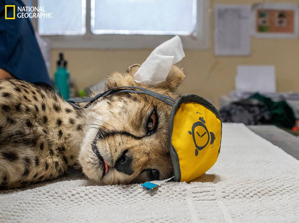 A cheetah cub lies on a table with his eyes open, heavily sedated, with a mask and earplugs