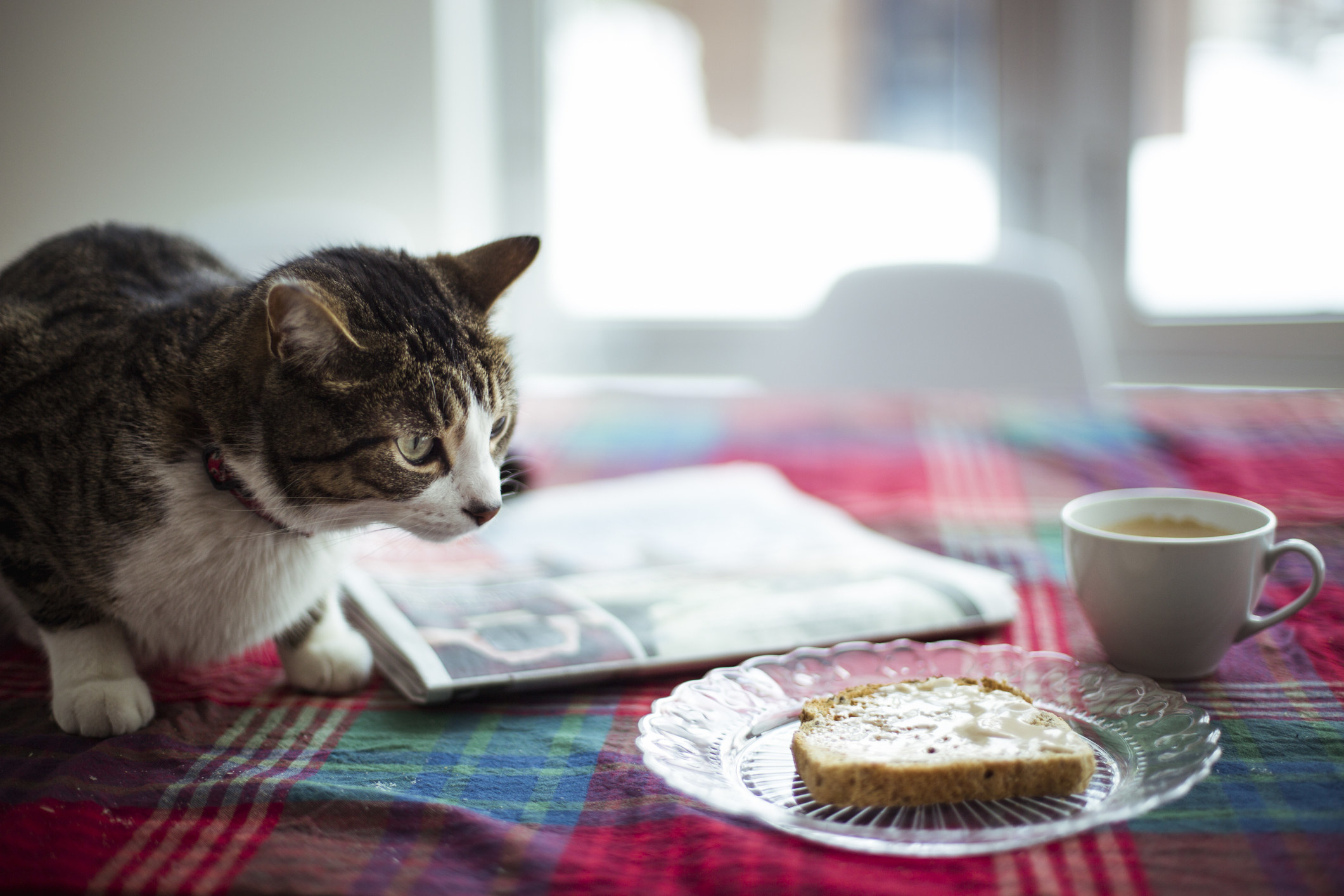 A cat looks at a piece of buttered toast