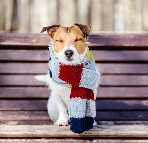 a squinting terrier wearing an oversize scarf