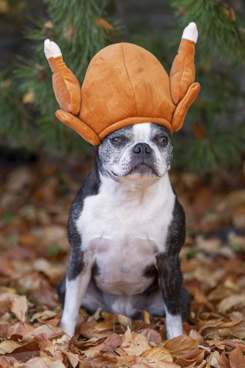 A Boston terrier wearing a funny turkey hat