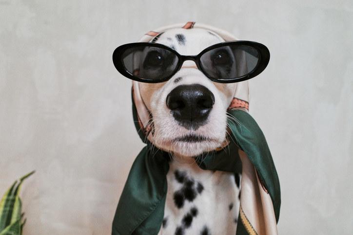dalmatian wearing sunglasses and a head scarf