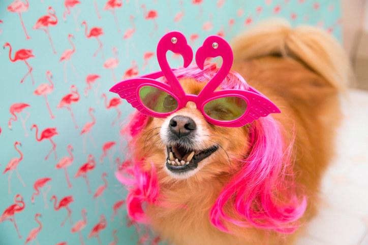 Pomeranian dog in flamingo sunglasses and a wig.
