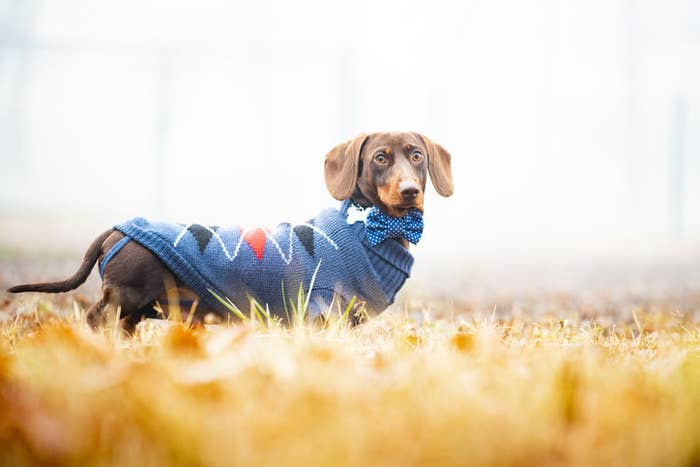 a weiner dog wearing an argyle sweater and matching bow tie