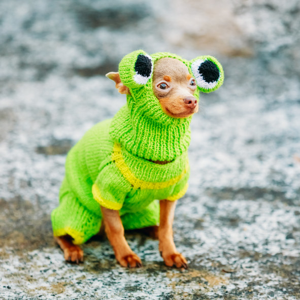 tiny Chihuahua dressed in a frog outfit