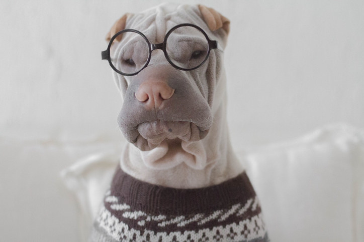 serious-looking dog wearing round glasses and a knit sweater