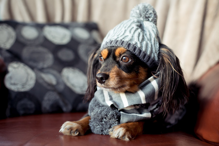 small dog sitting on the couch with winter hat and scarf on