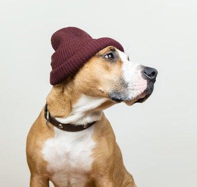A dog wearing a beanie