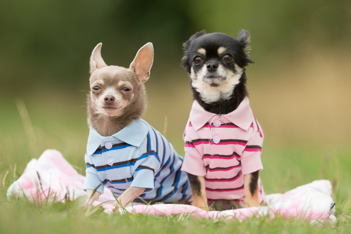 pair of small dogs wearing matching collared shirts