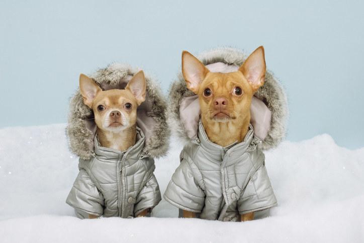 a pair of Chihauhaus wearing winter coats
