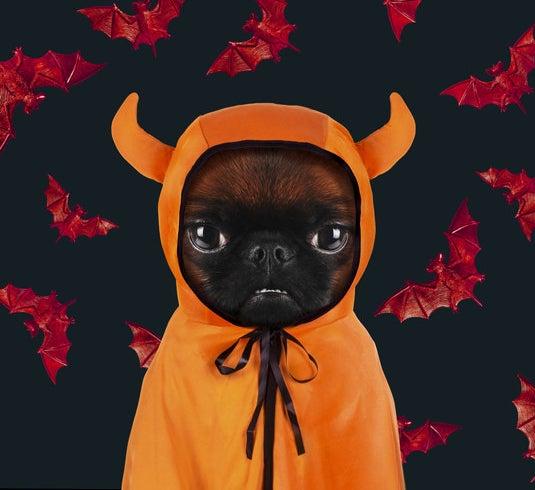 Brussels griffon wearing devil cloak