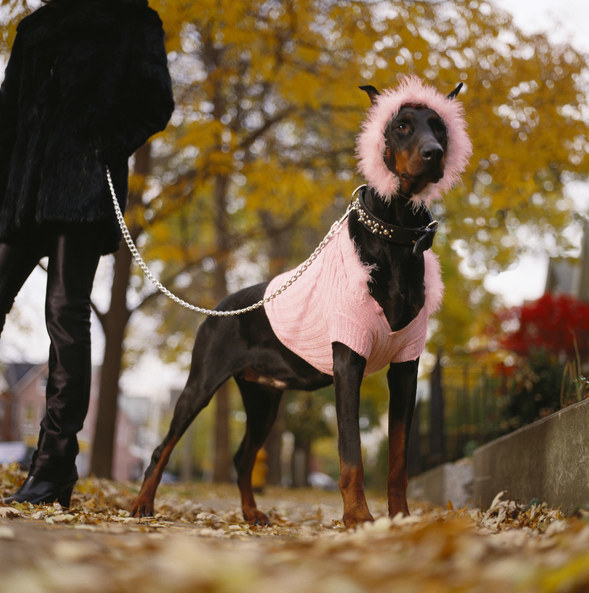 a majestic Doberman wearing a coordinated coat and hat in contrasting colours