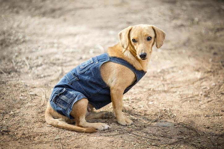 dachshund in denim dungarees