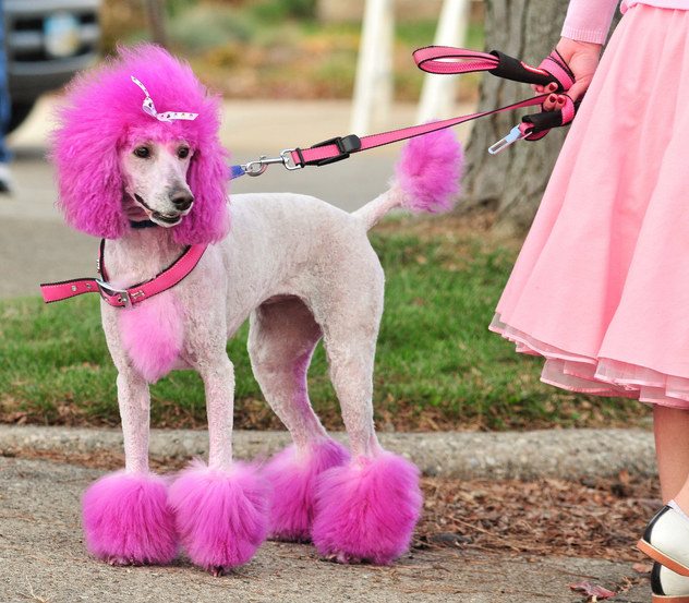 A brightly coloured and perfectly groomed poodle