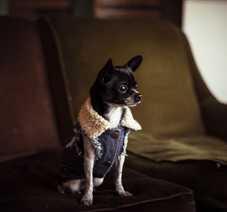 A tiny Chihuaha in a trendy denim vest with lambskin collar.