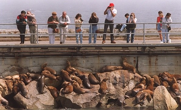fishing wharf with lots of sea lions