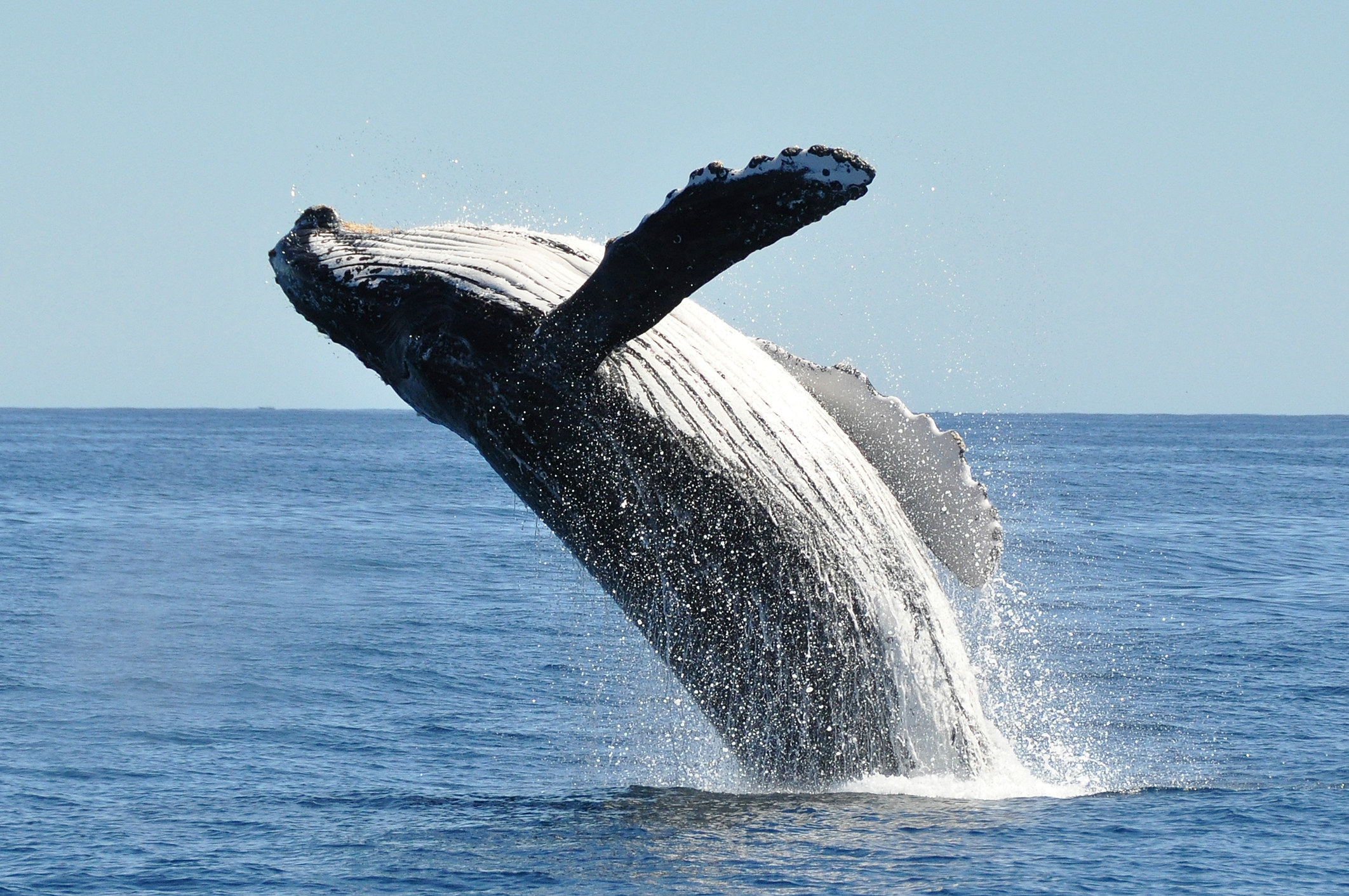 A whale leaping out of the sea