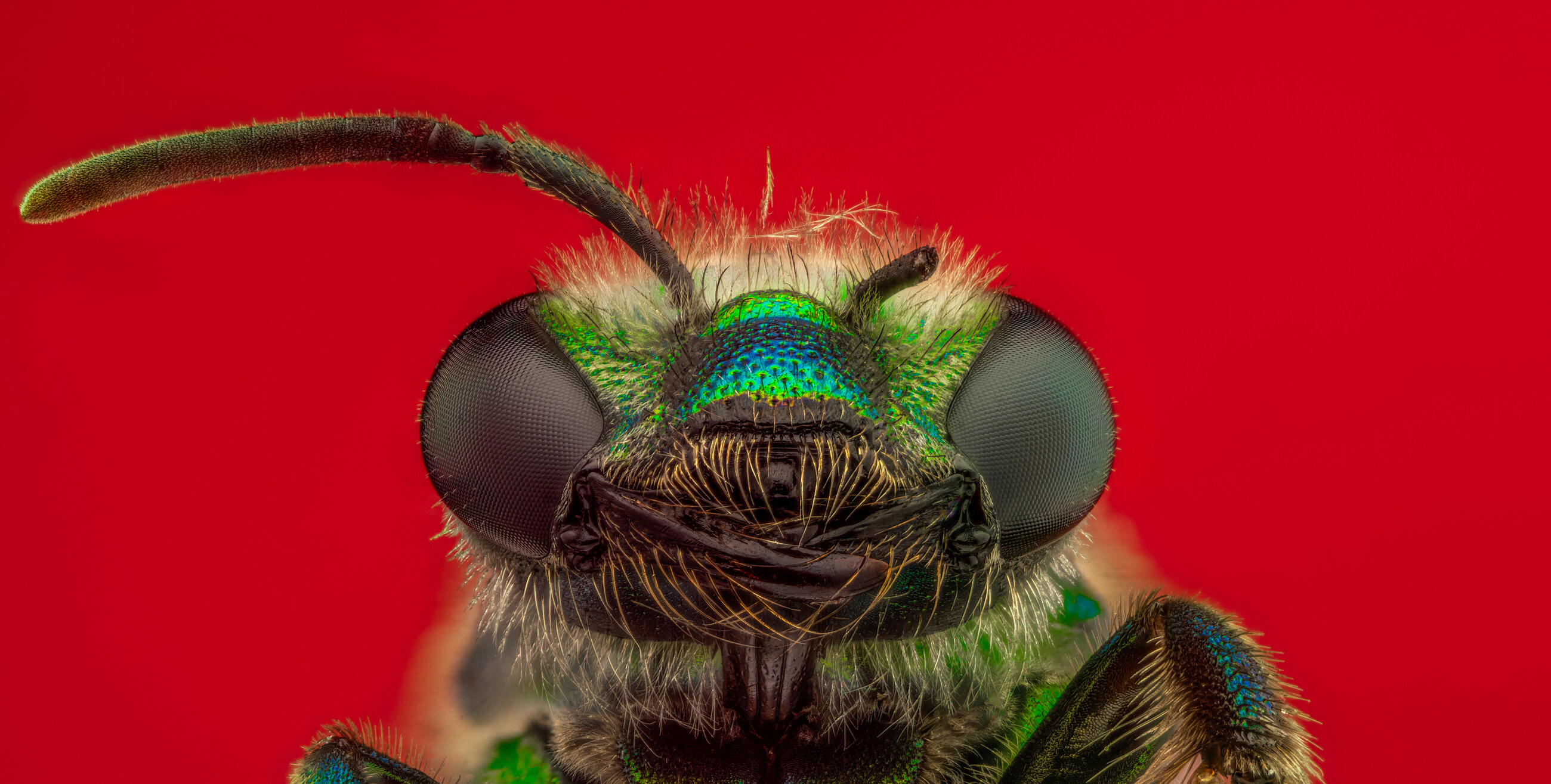 A green bee looking at the camera on a background, one antenna is missing