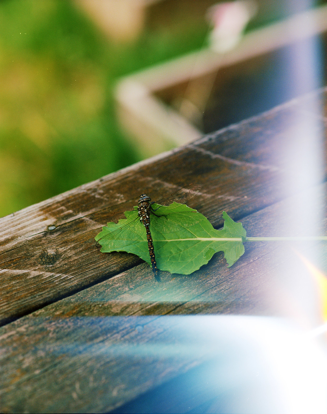 A dragonfly on a leaf on a harden bench, with a solar flare on the right
