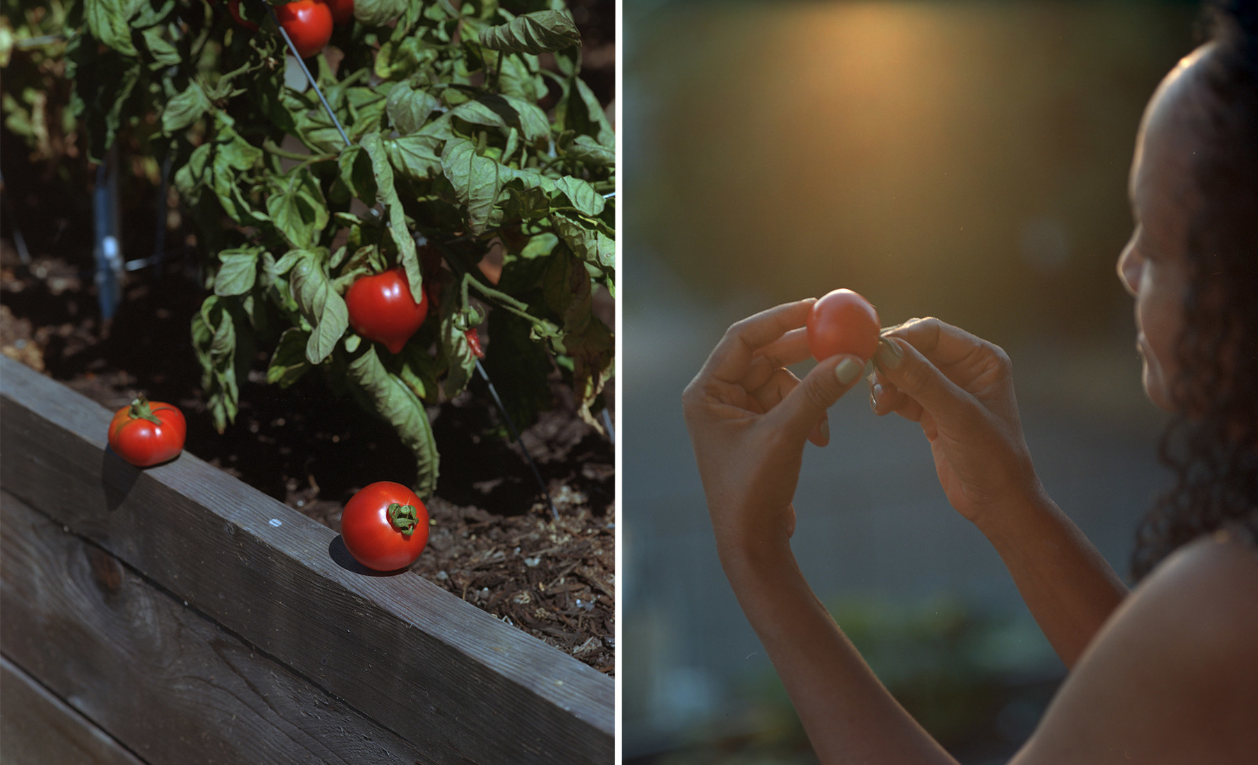 On the left, two tomatoes on a garden rail, right, the photographer's mother holding a tomato