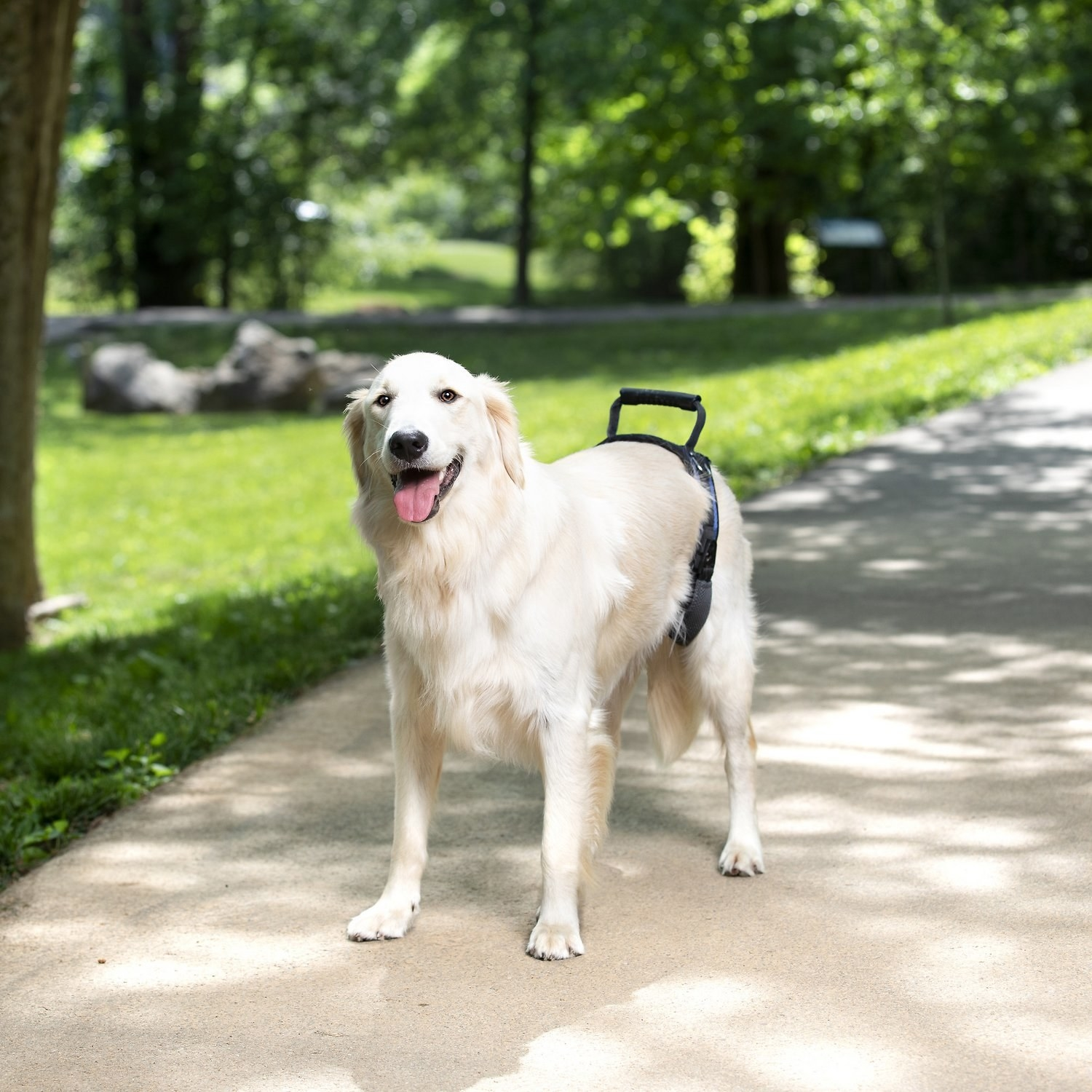 A dog with a support harness around its hips.