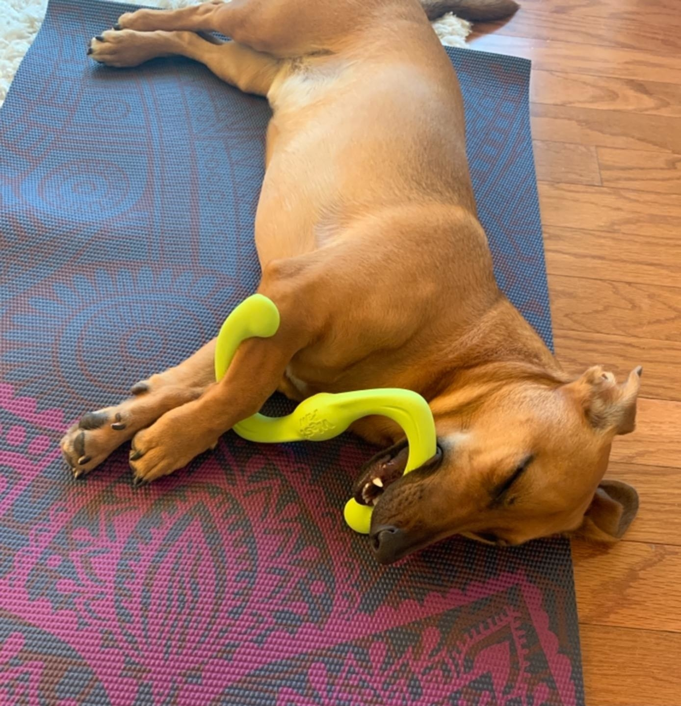 A small dog laying on a yoga mat with a yellow chew toy in their mouth