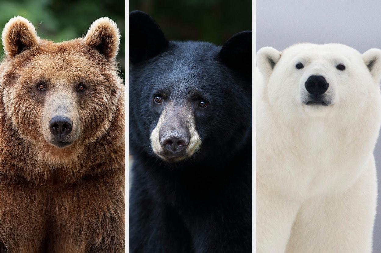 A grizzly bear, a black bear, a polar bear