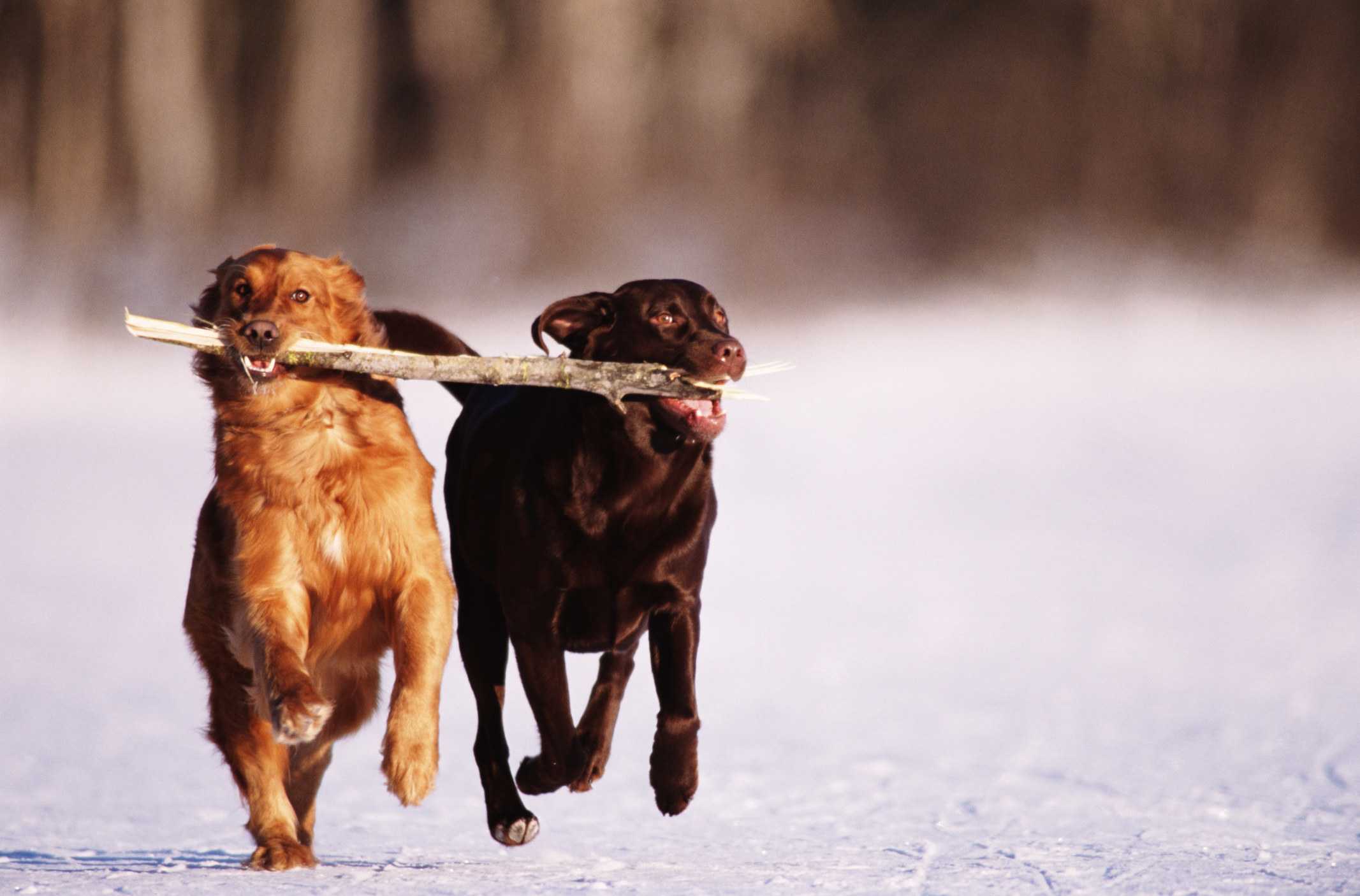 Two dogs running with stick in their mouths.