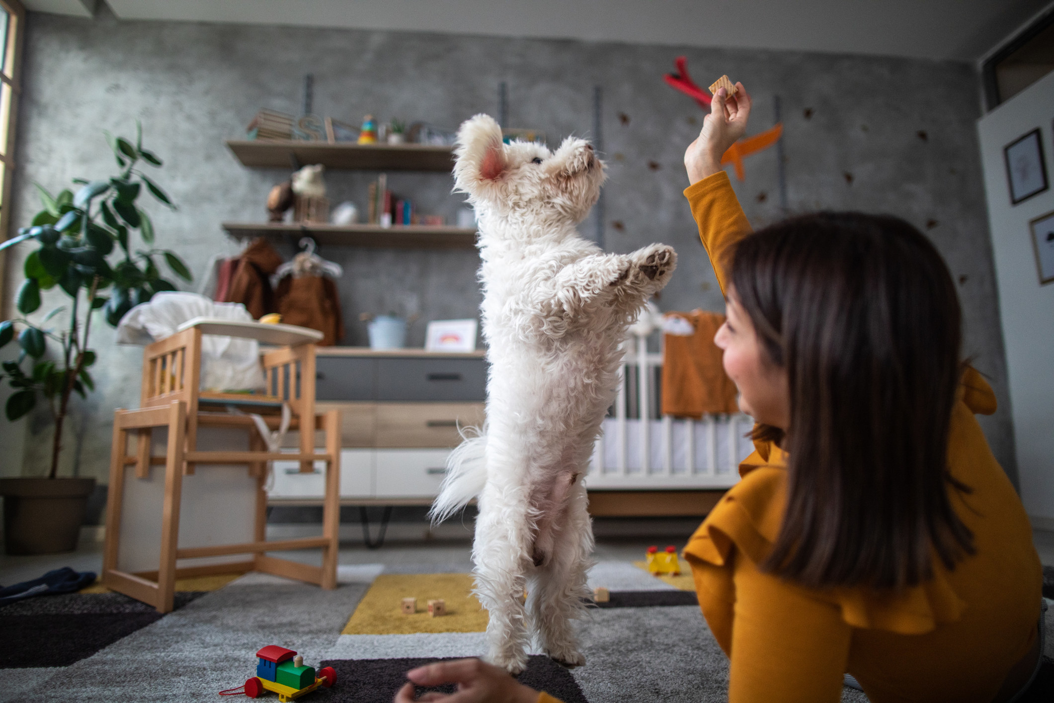 Young woman playing with fluffy pet at home, dog jumping and trying to catch the toy.