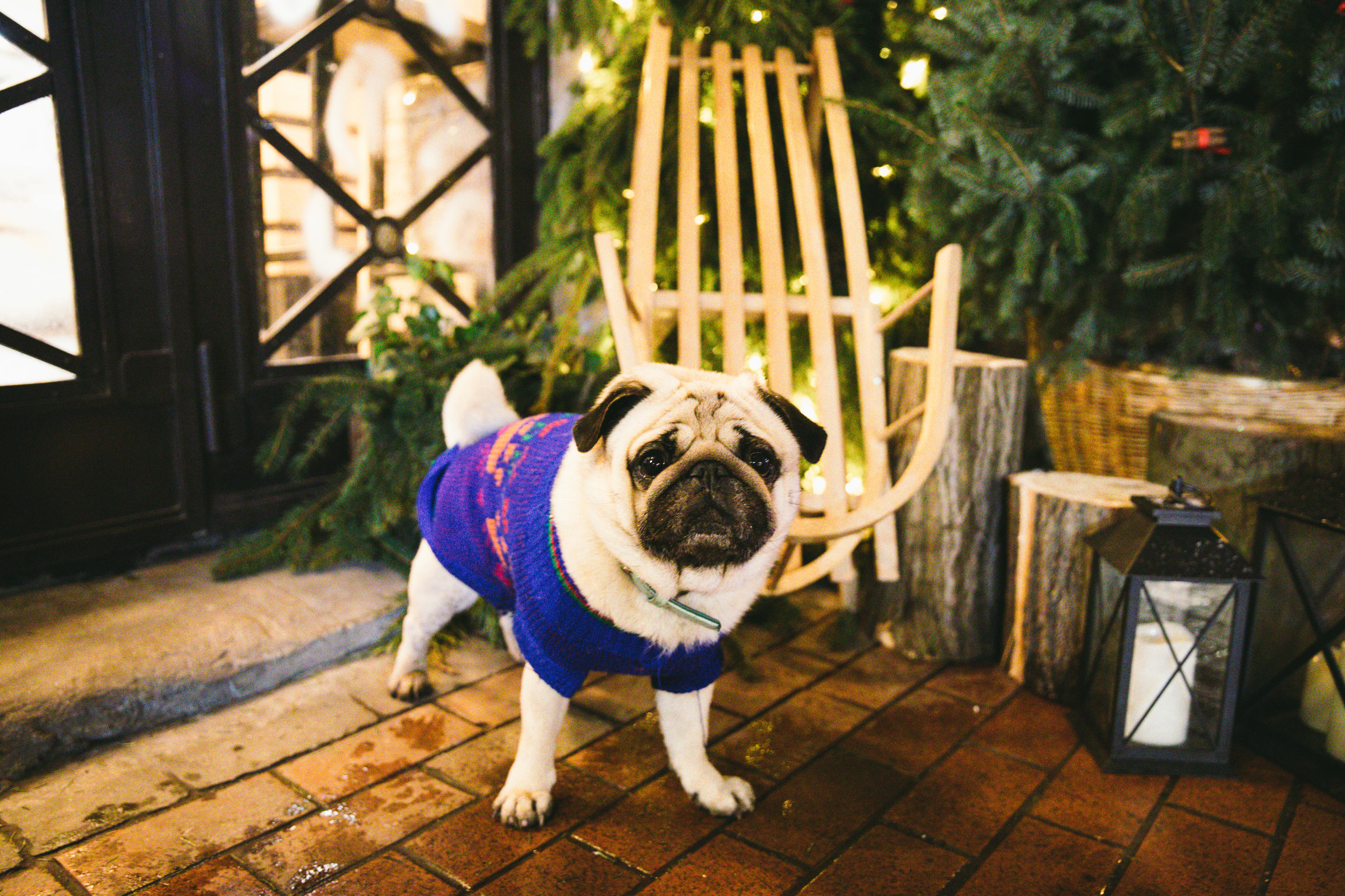 Pug in a Christmas sweater at a holiday market.