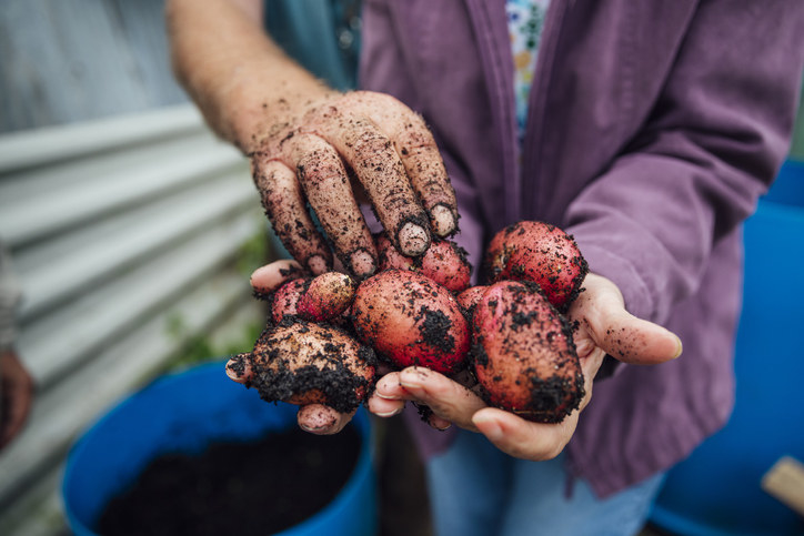 image of a person holding dirt-covered potatoes in their hands