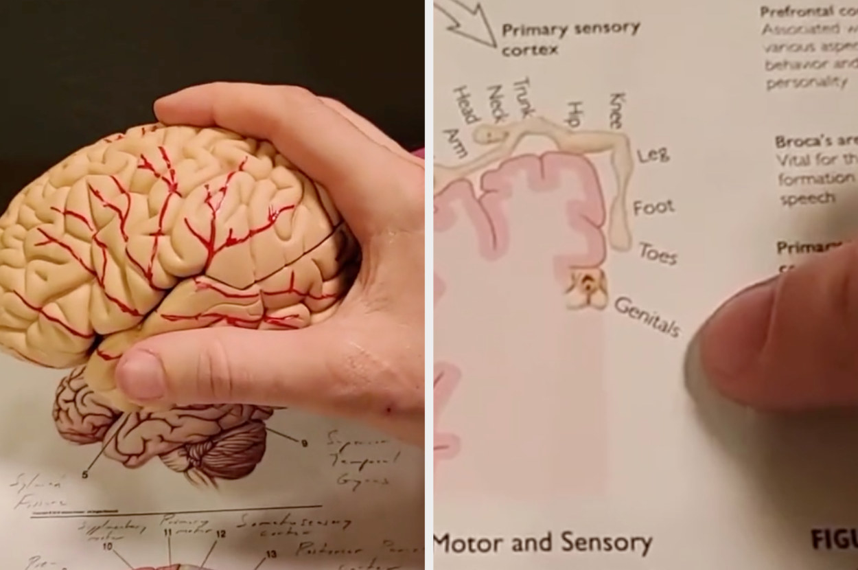 A diagram of the human brain