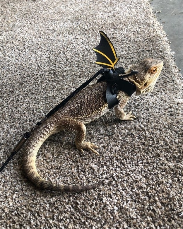 bearded dragon with wings and leash