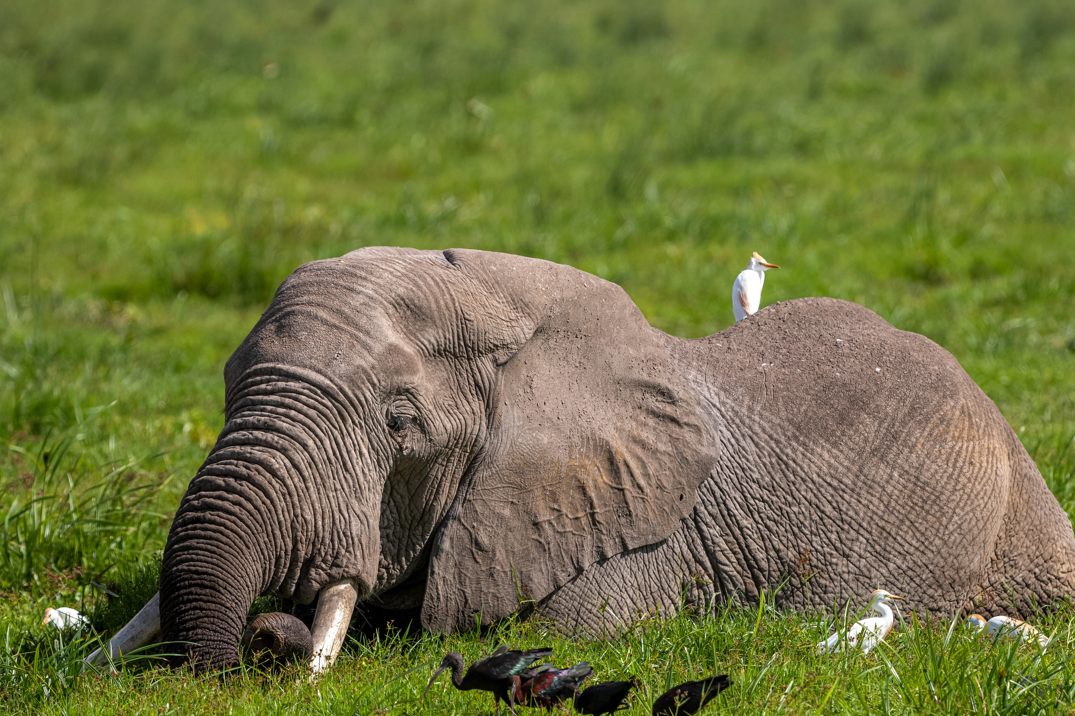 An elephant lying down in the grass surrounded by birds
