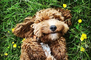 a goldendoodle puppy laying in a field