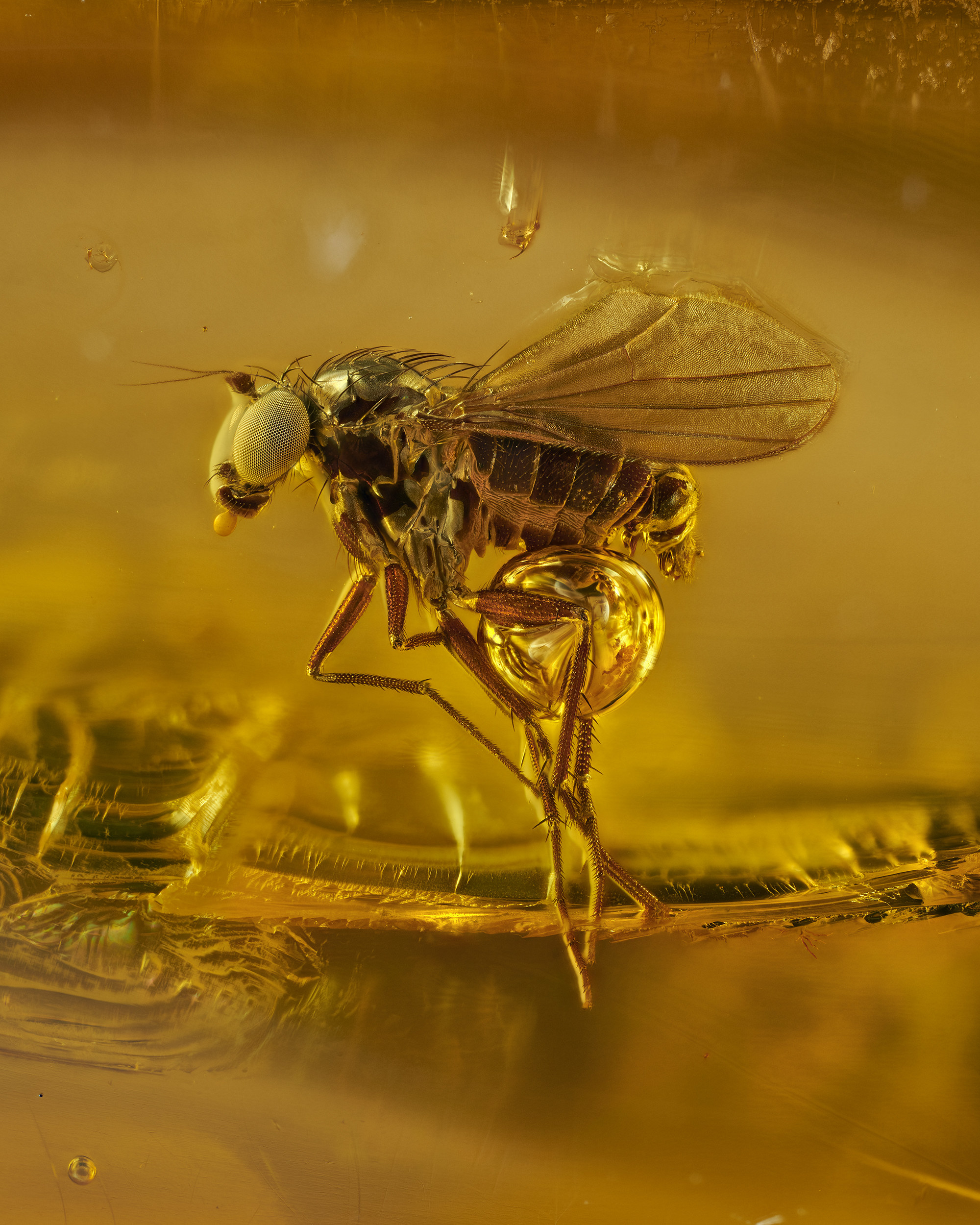 A gnat preserved in amber, hovering in the frame,  magnified many times