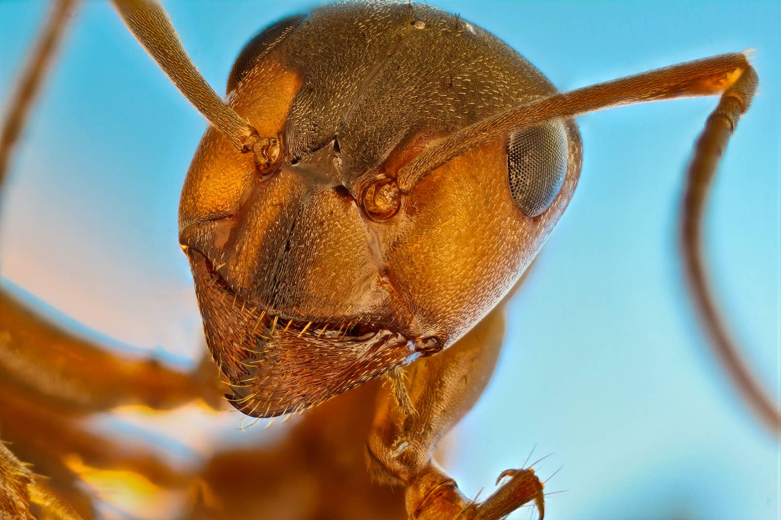 A close-up of an ant looming over the camera with a blue background