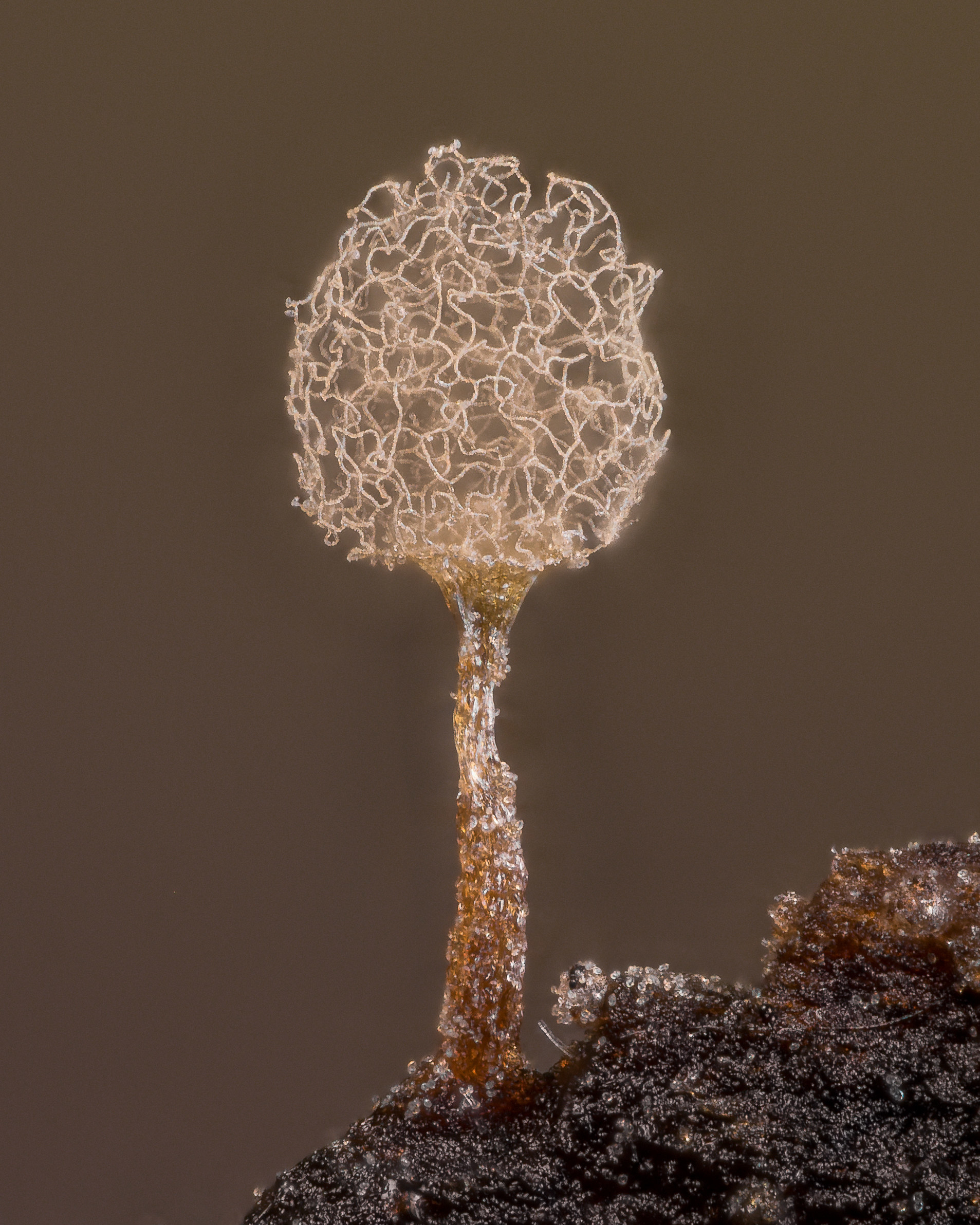 A close-up of a slime mold mushroom with a fluffy top