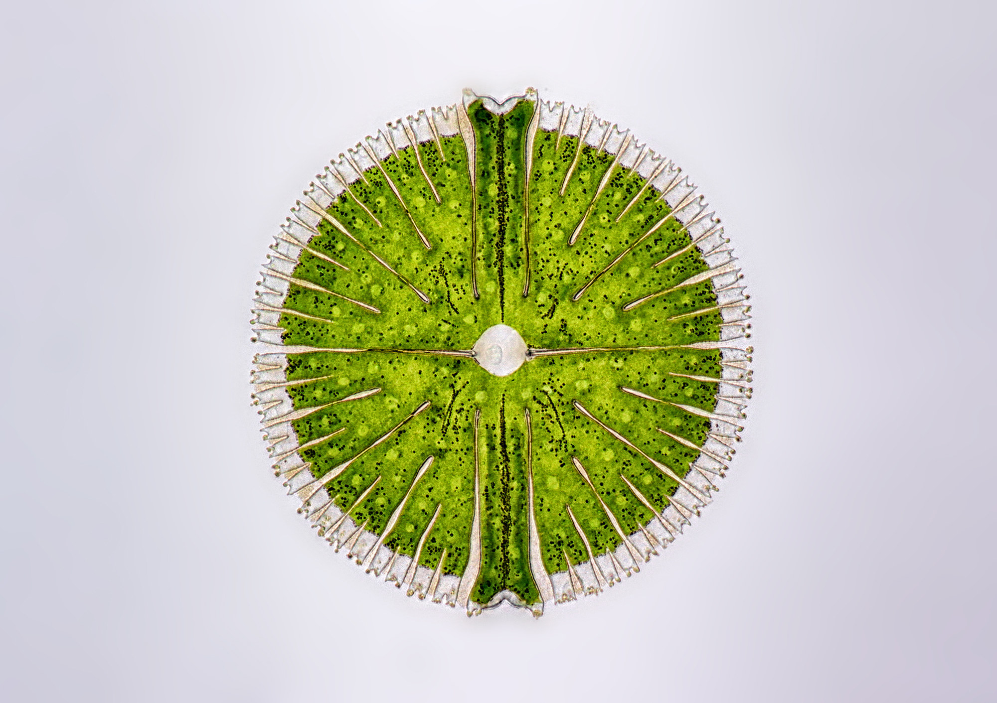 A small green cell of an algae plant, on a white background, magnified many times