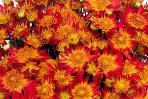 the flowers with orange centers and bright red petals
