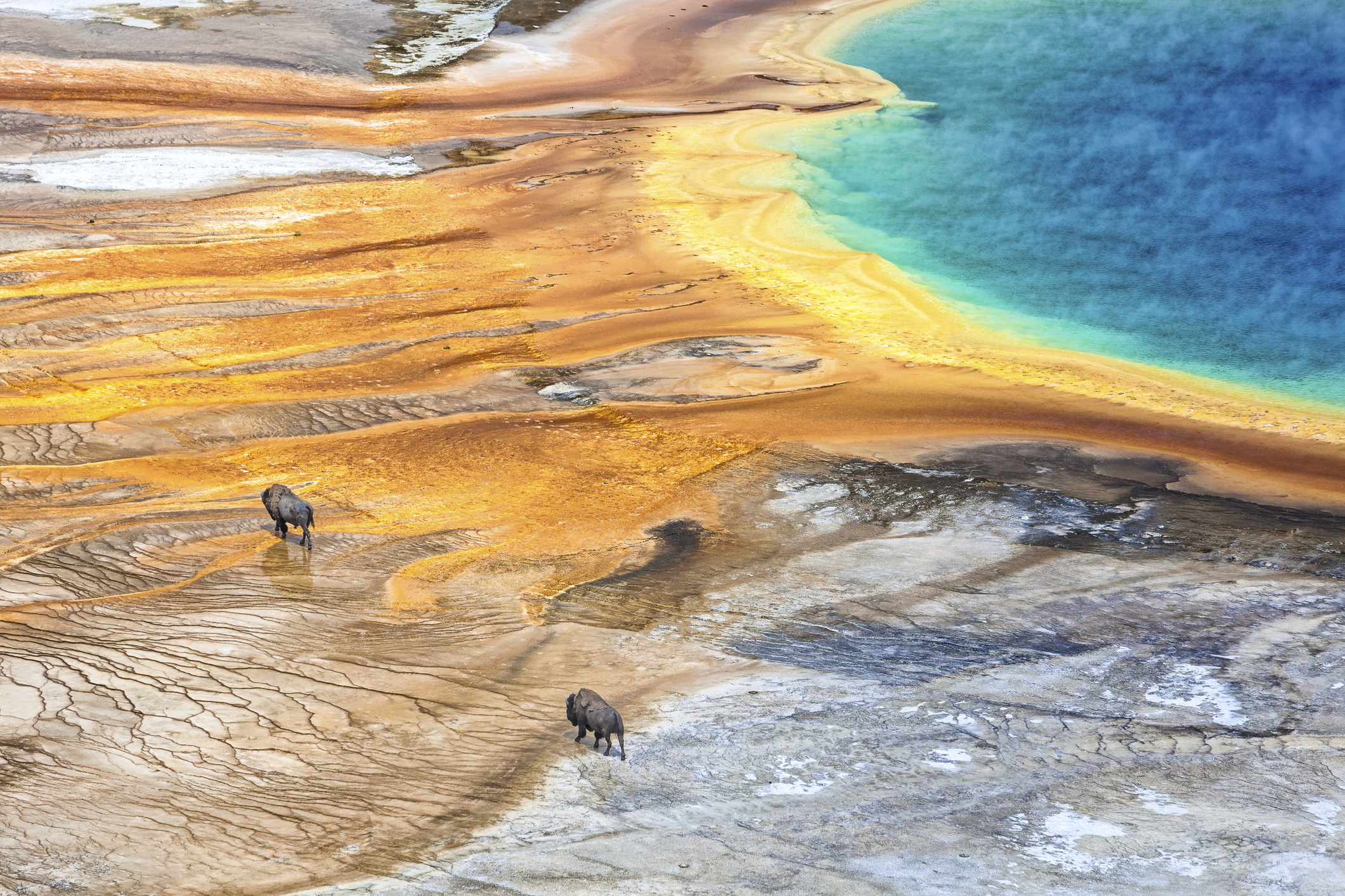 Grand Prismatic Geyser with American Bison in Yellowstone