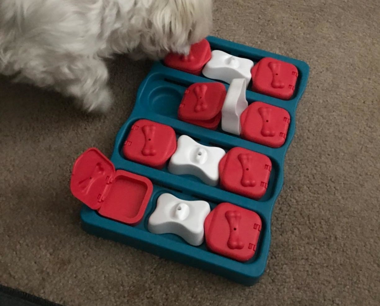 white maltipoo using the activity box, which has red and white bone-shaped compartments that move and hold treats