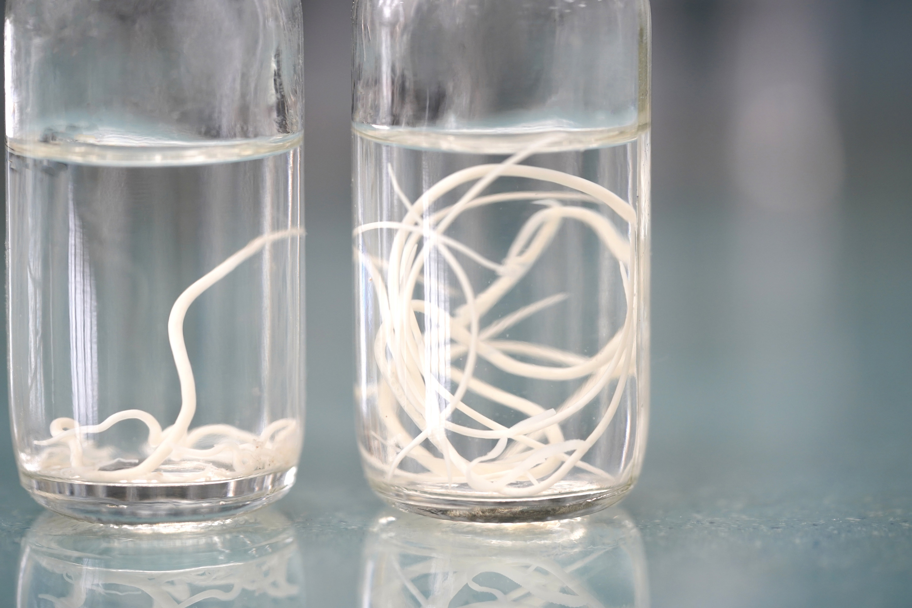 Photo of two jars filled with liquid and long tapeworms