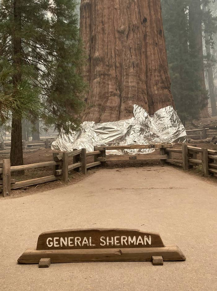 """A massive, tall tree named """"General Sherman"""" is wrapped with foil at its base"""