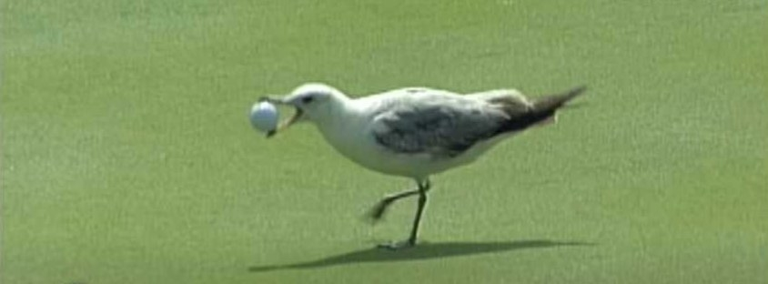 Seagull with a golf ball in its mouth