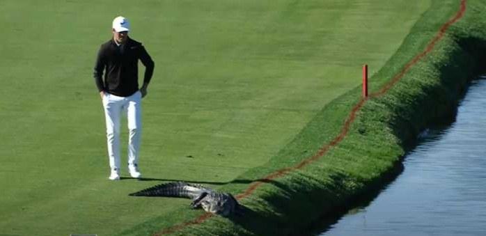 Golfer walks toward gator