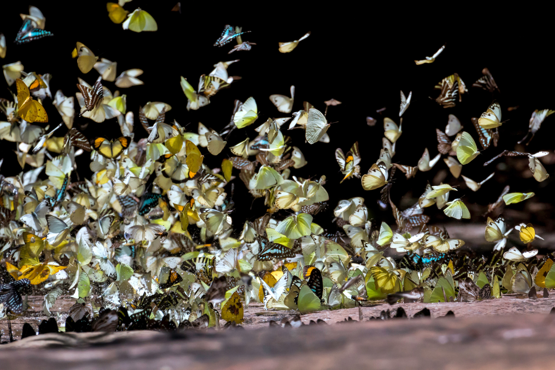 Butterflies flocking in a group