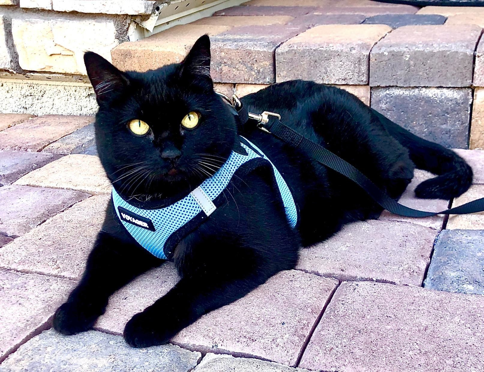 reviewer's black cat wearing a blue harness