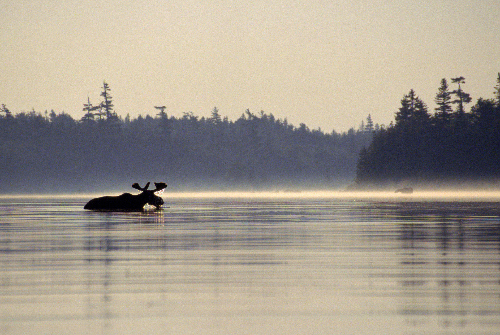 A moose in the water in Maine