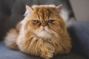 a very fluffy cat with an angry look on its face