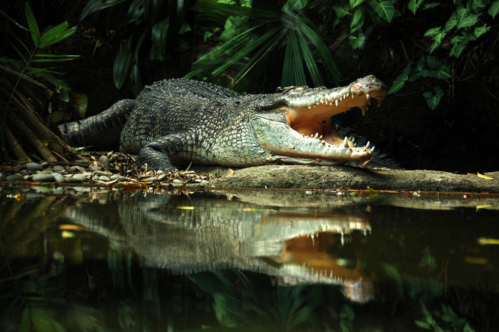 a crocodile in the water